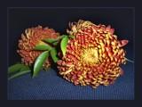 Chrysanthemum by LynEve, Photography->Flowers gallery