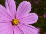 Pink Cosmos by LynEve, photography->flowers gallery