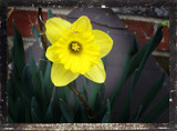 Foofy Daffodil by amishy, Photography->Flowers gallery