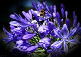 Agapanthus praecox by LynEve, photography->flowers gallery