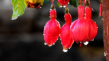 Sparkling Fuschia by braces, photography->flowers gallery