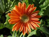 Gerber Daisy Orange by haymoose, Photography->Flowers gallery