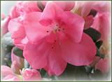 Azalea Soft by trixxie17, photography->flowers gallery