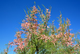 Tamarisk Blossom by Heroictitof, photography->nature gallery