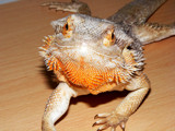 Meet Sheila! by angelicem, photography->reptiles/amphibians gallery