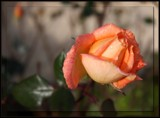 The Last Rose Of Summer by LynEve, photography->flowers gallery