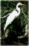 White Egret #2 by GomekFlorida, photography->birds gallery