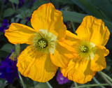 Yellow Poppies by jeenie11, photography->flowers gallery