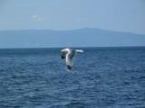 seagul2 by prentzas, photography->birds gallery
