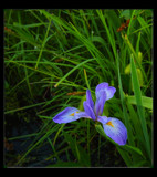 Wild Iris by tigger3, Photography->Flowers gallery