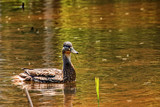Hayseed Duck by Eubeen, photography->birds gallery