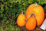 Calendar Pumpkins by tigger3, photography->gardens gallery