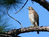 broad winged hawk by madmaven, Photography->Birds gallery