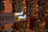 Enjoying The Reflections by corngrowth, photography->birds gallery