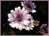 Portrait of Osteospermum by trixxie17, photography->flowers gallery