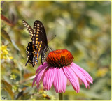 Black Swallowtail On Cone Flower by tigger3, photography->butterflies gallery