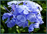 Plumbago by trixxie17, photography->flowers gallery