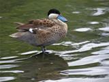 Puna Teal by gonedigital, photography->birds gallery