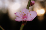 Little Peach Blossom by aboogie, Photography->Macro gallery