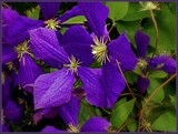Forgotten Clematis by trixxie17, photography->flowers gallery