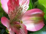 Alstroemeria by Paul_Gerritsen, Photography->Flowers gallery