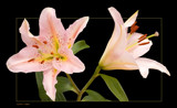 lily duo by kodo34, Photography->Flowers gallery