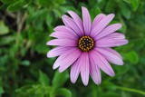 Purple daisy by elektronist, photography->flowers gallery