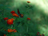 Faux Monarch by wheedance, Photography->Butterflies gallery