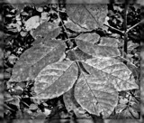 Leaf Study in B&W by trixxie17, contests->b/w challenge gallery