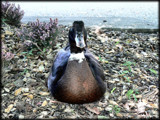 Sitting Duck by LynEve, Photography->Birds gallery