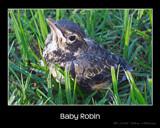 Baby Robin by houstonaxl, Photography->Birds gallery