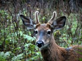 DEER 28 by picardroe, photography->animals gallery