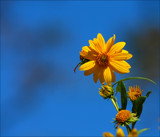 Sun Yellow On Blue by tigger3, photography->flowers gallery