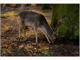 deer in Dunham Massey........... by fogz, Photography->Animals gallery