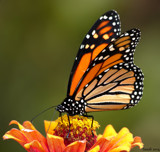 Calendar Flutterby #4 by tigger3, photography->butterflies gallery