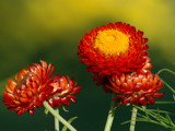 Kisses of Fall for the second time around by ladyred, Photography->Flowers gallery