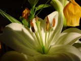 White lily by magical, photography->flowers gallery