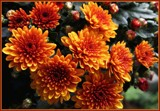 Burnt Orange Mums by trixxie17, photography->flowers gallery
