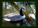 Tranquil Reflections by LynEve, Photography->Birds gallery