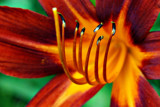 Tiger Lily Up Close by kramden11, Photography->Flowers gallery