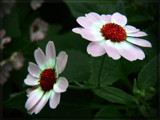 Bright Cineraria by LynEve, Photography->Flowers gallery