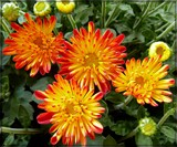 2nd Mums 2016 by trixxie17, photography->flowers gallery