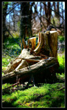tree stump by TRACYJTZ, Photography->Landscape gallery