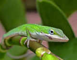 anole by jeenie11, Photography->Reptiles/amphibians gallery
