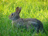 Hewwo wabbit... by gabegarwick, photography->animals gallery
