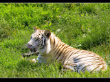 Panthera tigris by kodo34, photography->animals gallery