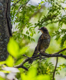 Young Robin in Color by Pistos, photography->birds gallery