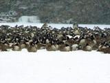 Got Geese? by kidder, Photography->Birds gallery