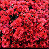 Mums The Word by tigger3, photography->flowers gallery