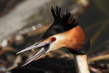 Great  angry Crested Grebe by Paul_Gerritsen, Photography->Birds gallery